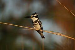 kingfisher pied Стоковые Изображения RF