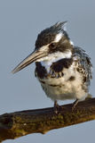 Kingfisher. Pied kingfisher watching for fish in Pilanesberg Nature Reserve Stock Photos