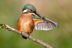 Kingfisher plumage is arranged in the belfry Stock Photos
