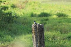 Kingfisher on a post Royalty Free Stock Images