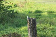 Kingfisher on a post Royalty Free Stock Photo
