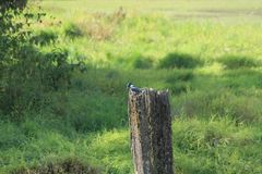 Kingfisher on a post Royalty Free Stock Photography