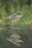 Kingfisher with Prey Stock Photography