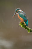Kingfisher in Rain. A Kingfisher perches by a swollen spring river as it rains Stock Image