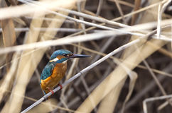 Kingfisher on Reed Stock Photography