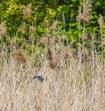 Kingfisher in the reed beds at the Hampton`s Wildlife Reserve, Worcester Park, London royalty free stock photos