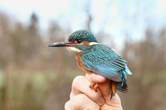 Kingfisher rescued Royalty Free Stock Images