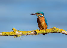 Kingfisher at rest. Royalty Free Stock Images