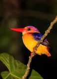 Kingfisher resting at night on a tree branch in the rain forest Stock Photo