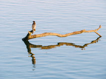 A kingfisher Royalty Free Stock Images