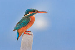Kingfisher. Resting on the tip of a boat Stock Images