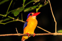 Kingfisher resting on a tree branch at night in the rain forest. Kingfisher resting on a tree branch in the jungles of Borneo royalty free stock photo