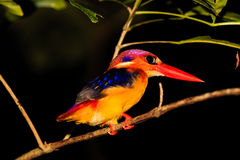 Kingfisher resting on a tree branch at night in the rain forest. Kingfisher resting at night time in the tropical rainforest of Borneo royalty free stock image