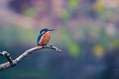Kingfisher. Rests on the branch Stock Images