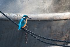 A Kingfisher resting on a rope royalty free stock photo