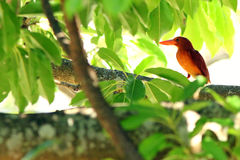 kingfisher ruddy Стоковые Фотографии RF