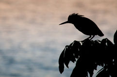 Kingfisher's silhouette in twilight Stock Image