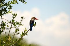 Kingfisher in the Serengeti Royalty Free Stock Image
