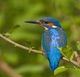 Kingfisher shoulders Stock Image