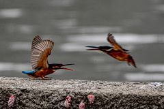 Kingfisher shows domineering against the invaders. At the lakeside, the kingfisher saw the invaders, opened their mouths, straightened their wings, and drove stock images