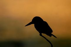 Kingfisher silhouette. White throated kingfisher (Halcyon smyrnensis) silhouetted at dawn, Keoladeo Ghana National Park, Bharatpur, Rajasthan, India Stock Photography