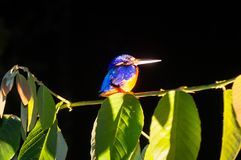 Kingfisher sit on a branch in the jungles of Borneo. Malaysia. Kingfisher sitt on a branch in the jungles of Borneo. Malaysia Stock Photos