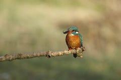 Kingfisher Stock Image