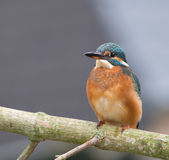 Kingfisher Royalty Free Stock Photos