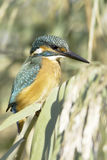 Kingfisher sitting on the reed / Alcedo atthis Stock Photos