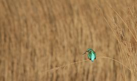 Kingfisher Sitting On Reed stock photos