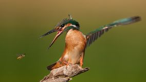 Kingfisher sitting on a stick with outstretched wings and open beak. Kingfisher sitting on a stick with outstretched wings and open beak, and looks at flying Royalty Free Stock Photography