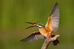 Kingfisher sitting on a stick with wings spread on a beautiful background Royalty Free Stock Image