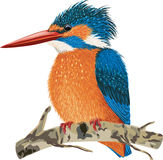 Kingfisher. Sitting on a tree branch  on white background Stock Photography