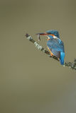 Kingfisher with a small fish Royalty Free Stock Photo