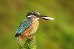 Kingfisher with spoil Stock Photography
