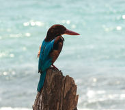 Kingfisher on the stick Royalty Free Stock Photo