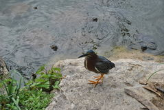 Kingfisher on stone at pond. A kingfisher stands on the bank of a pond with snapping turtles looking up from the water on Jamaica in the Caribbean royalty free stock images