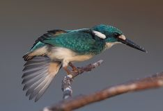 A kingfisher strecthed its wing on a branch royalty free stock photo