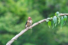 Kingfisher striped автор змеек Стоковая Фотография RF