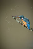 Kingfisher stunning her prey Royalty Free Stock Image