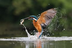 Kingfisher. Success with fish, beauty Royalty Free Stock Images
