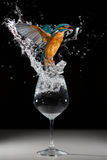 A kingfisher taking off from a glass with a prey. Kingfisher fishing in a glass full of water Stock Photos