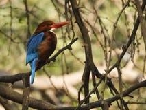 kingfisher imagen de archivo
