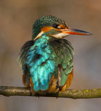 Kingfisher. To detail and his posturing Royalty Free Stock Image