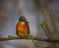 Kingfisher. To detail and his posturing Stock Photo