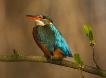 Kingfisher. To detail and his posturing Royalty Free Stock Images