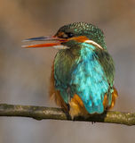 Kingfisher. To detail and his posturing Royalty Free Stock Photography