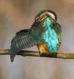 Kingfisher. To detail and his posturing Stock Photos