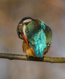 Kingfisher. To detail and his posturing Stock Image