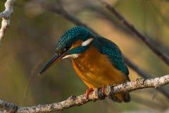 Kingfisher in tree Stock Image